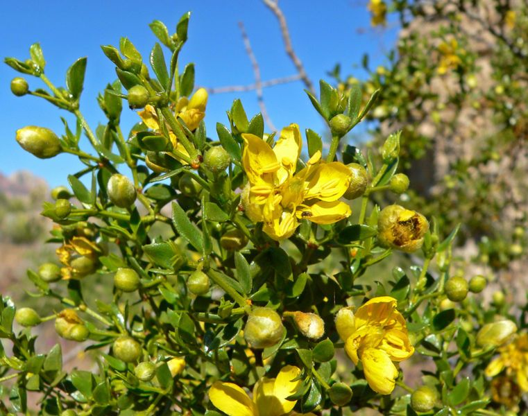 Larrea tridentata is known as creosote bush and greasewood