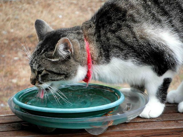 10 Tips To Encourage Your Cat To Drink More Water Cats Cat Health Cat Water Bowl