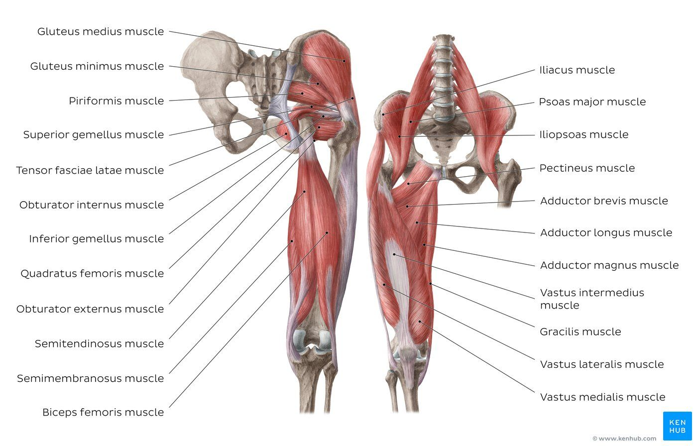 Diagram Pictures Muscles Of The Hip And Thigh Anatomy Kenhub Muscle Diagram Leg Muscles Diagram Hip Muscles Anatomy