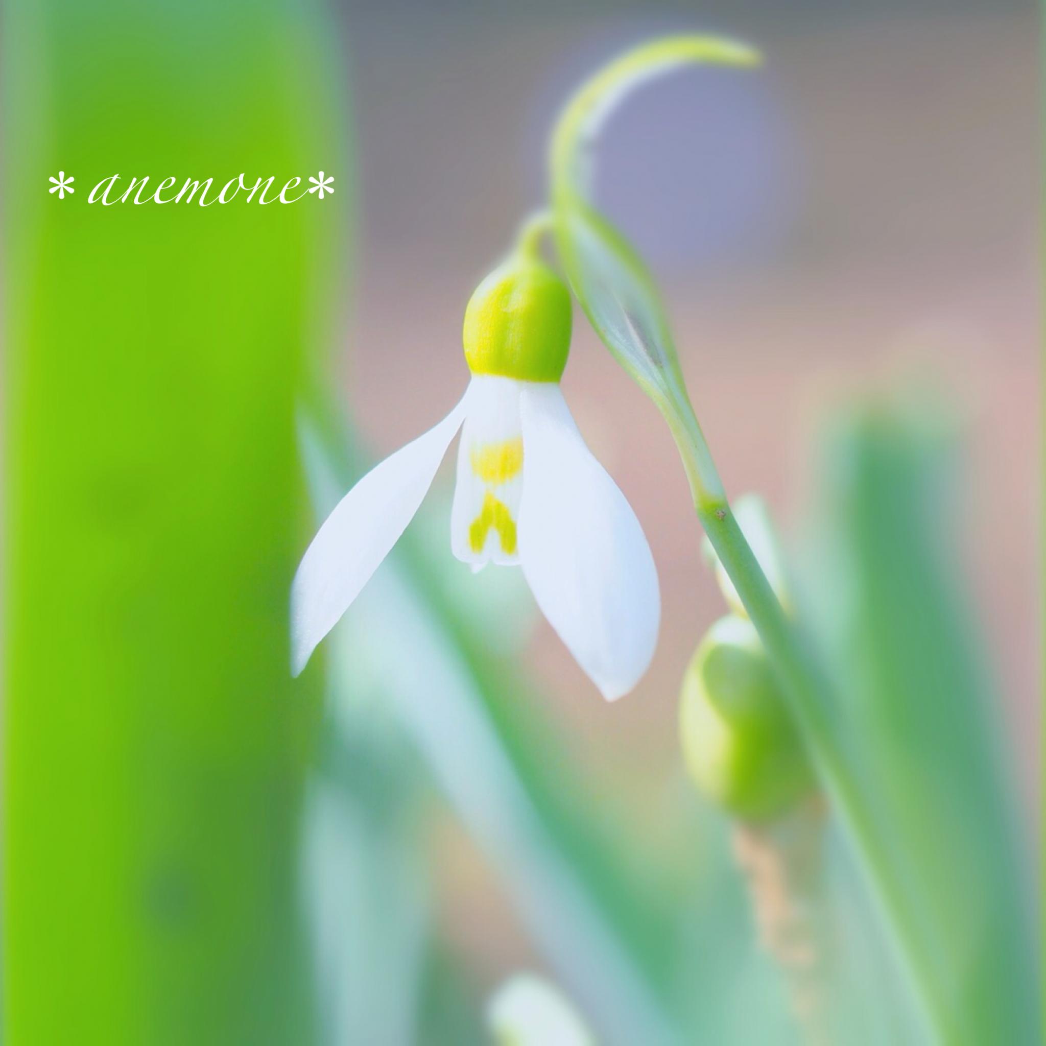 スノードロップ Snowdrop Flower