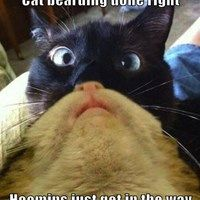 Cat bearding done right  Hoomins just get in the way