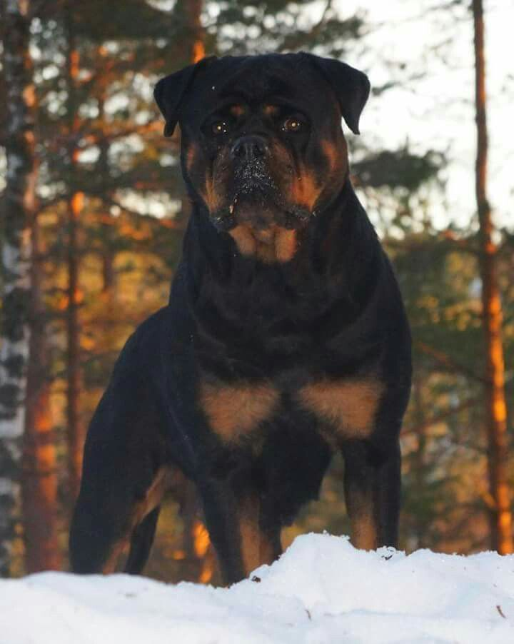 Rottweiler Loving Confident And Loyal Rottweiler Dog Dogs