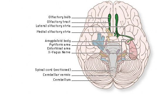 overview diagram of olfactory nerve medical school help cranialoverview diagram of olfactory nerve