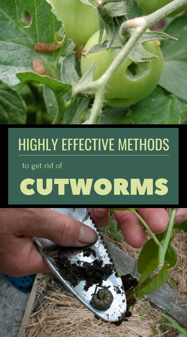 Highly Effective Methods To Get Rid Of Cutworms