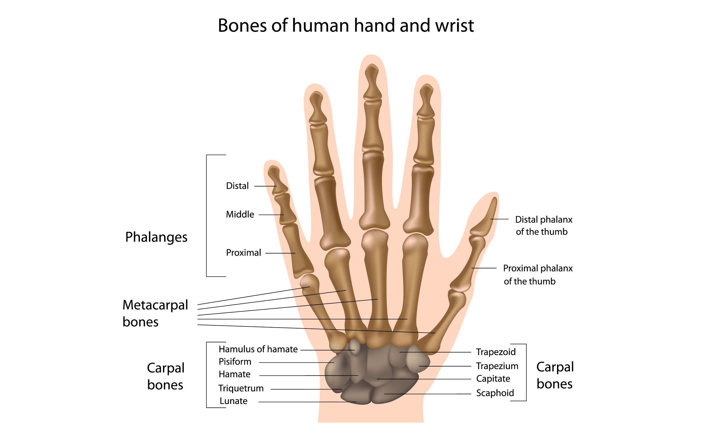 Thumb Joints Anatomy Diagram Tollebild