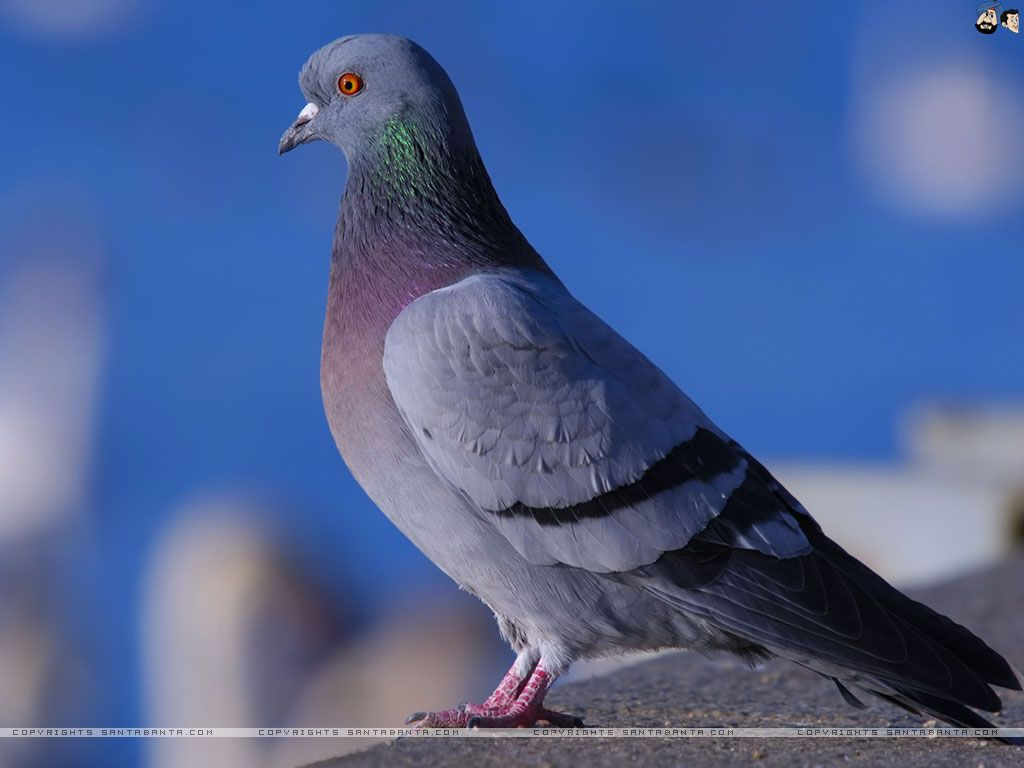 pigeon hd wallpapers backgrounds wallpaper | hd wallpapers