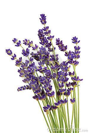 lavender clipart free - Google Search