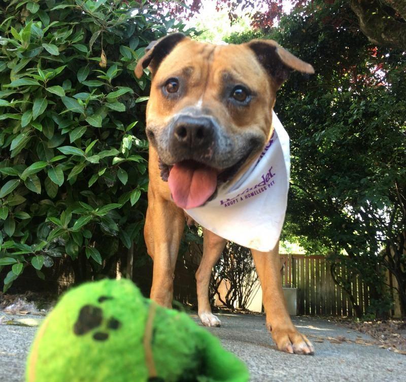 Adopt Sweetie Pie On Petfinder Pitbull Terrier City Pets Sweetie Pie