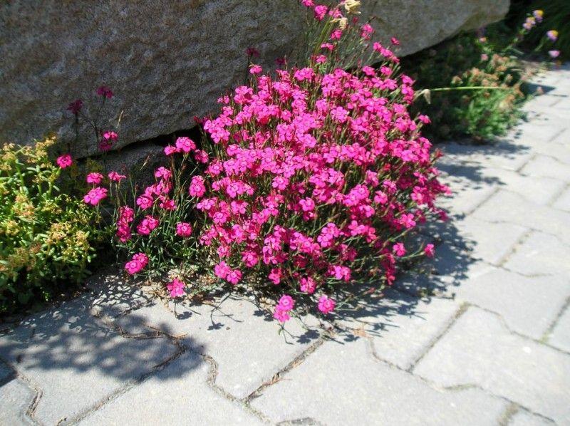 Marvelous Fleurs De Rocaille Vivace #14: DIANTHUS Deltoides
