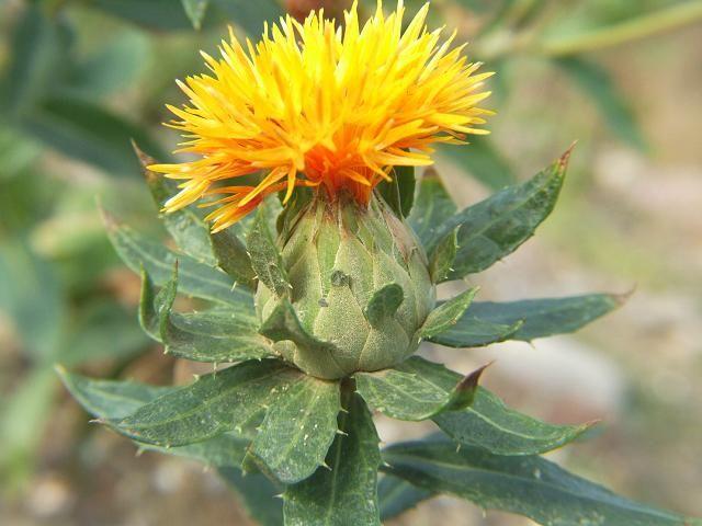 Le Carthame Carthamus Sp Comment Guerir Le Psoriasis Fleurs Medicinales