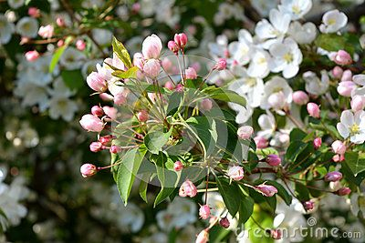 Blooming Apple Tree Unfolded Pink Buds And White Flowers On The Background Blooming Apples White Flowers Apple Tree