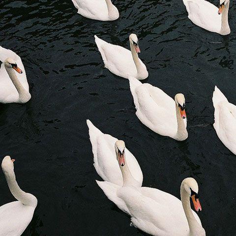 Witte zwanen