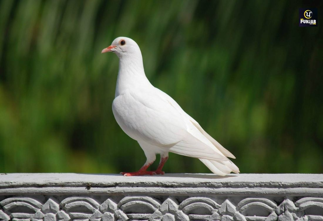 Pin By Punjab News On Punjab News Dove Pigeon White Pigeon White Doves
