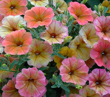 Give Your Garden A Pop Of Distinctive Color With This Stunning Cottage Farms Six Piece Indian Summer Petunia Collection Petunias Flower Seeds Planting Flowers