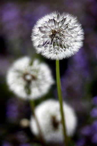 Wildlife Snapshots Dandelion Flower Photos Amazing Flowers