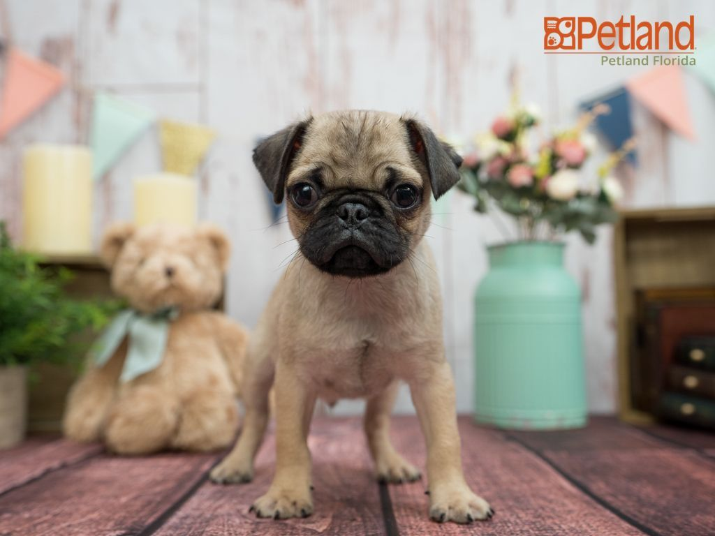 Puppies For Sale Pug Puppies For Sale Pug Puppies Dog Lovers