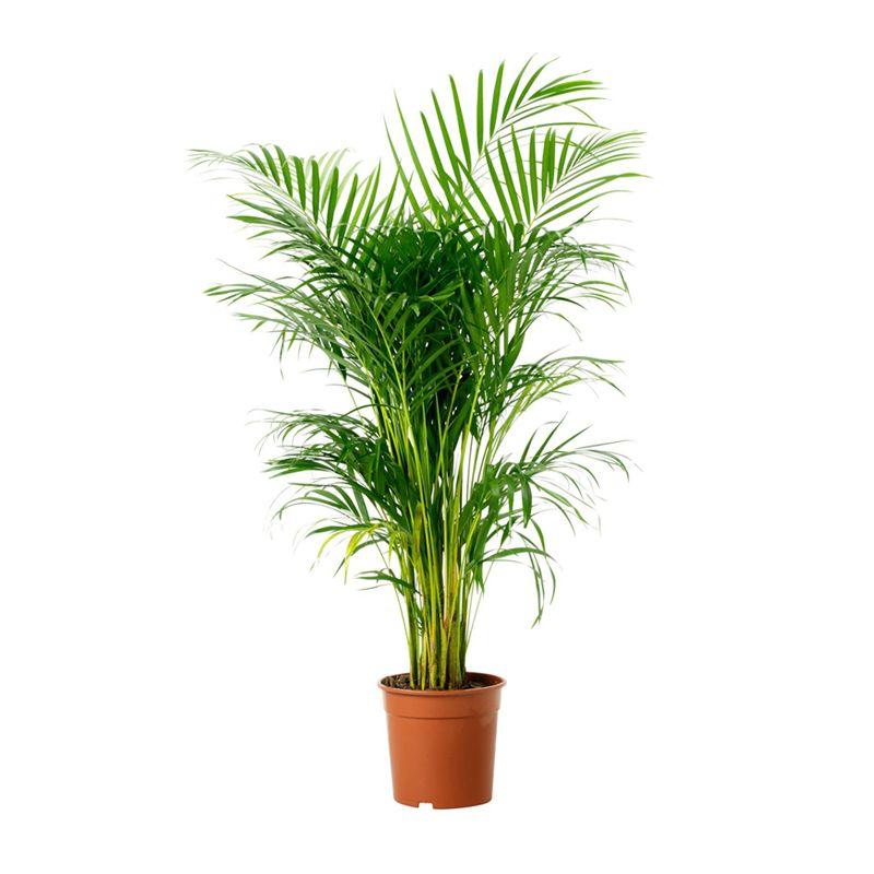 Areca Palm Indoor Plants Online In Uae