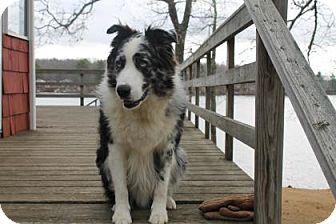 E Brookfield Ma Australian Shepherd Mix Meet Jake A Dog For
