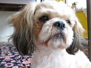 Sumi Shihtzu Foster Vancouver Is An Adoptable Shih Tzu Dog In Vancouver Bc Sumi Shihtzu Shihtzu Poodle X Neutered Male A Dog Haircuts Shih Tzu Dog Dogs