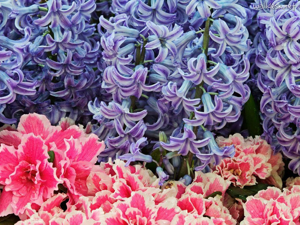 Fondo Primavera álbum Classic Flores Violetas: Fondos De Pantalla Hyacinth Flowers, Papeis Fondos De