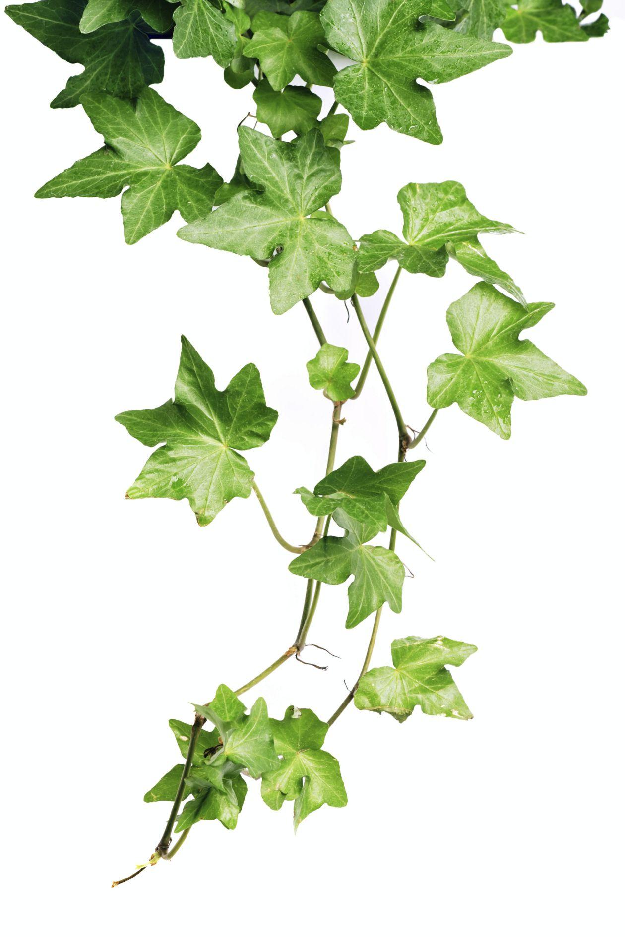 Plantas interiores para combatir la humedad - Enredaderas de interior ...