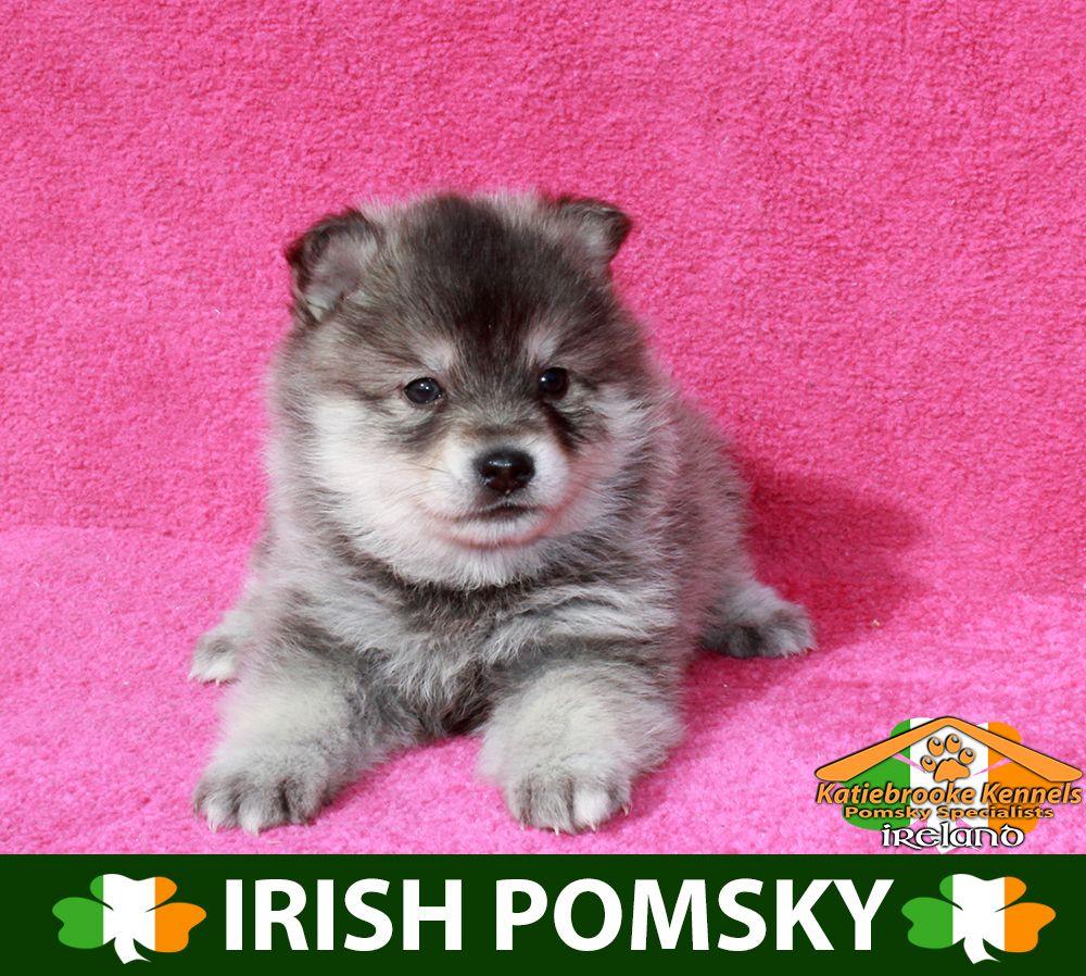 Katiebrooke Kennels Pomsky Specialists Ireland 1500 Uk 2000 Europe 2000 Usa F1 Pomsky Puppy Clifford Brown Eyes X Male X Pomsky Puppies Pomsky Puppies