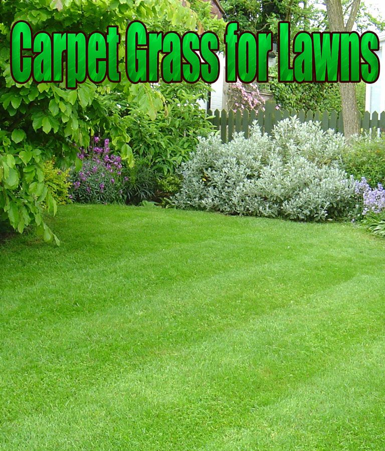 As You May Have Guessed From The Name Offers Good Carpet Like Coverage It Is A Creeping Grass And Covers Soil Types Many Grasses Do N Lawn Grass Carpet Grass