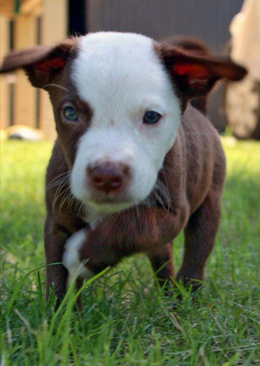 Australian Koolie Dog Photo Tom 8 Week Old Male Kelpie X