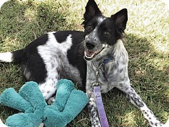 Agoura Hills, CA - Australian Cattle Dog/Border Collie Mix. Meet 'JO', a dog for adoption. http://www.adoptapet.com/pet/12931343-agoura-hills-california-australian-cattle-dog-mix
