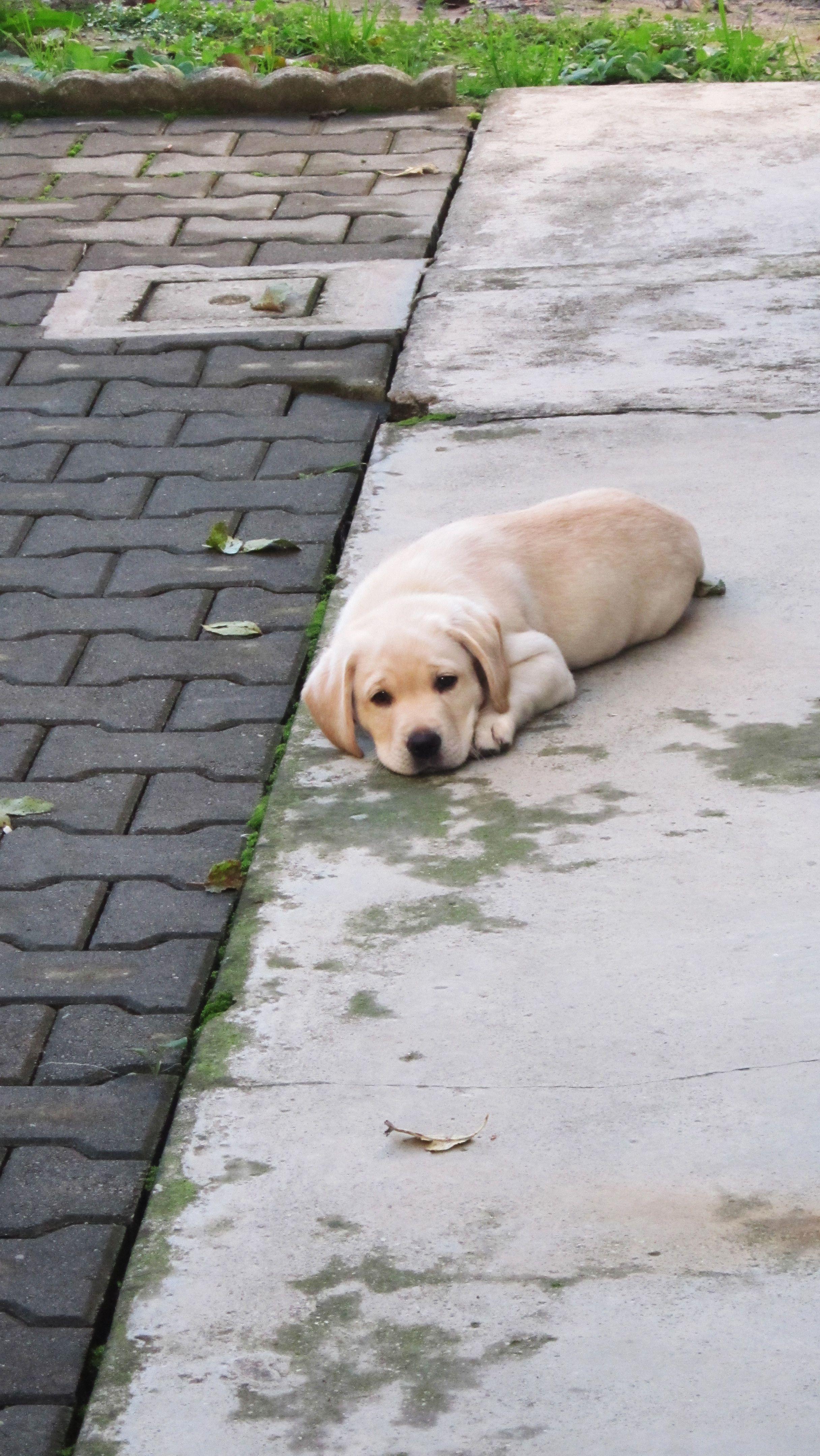 Sweet Dog Puppy Labrador Loredana Debelic Dogs Dog
