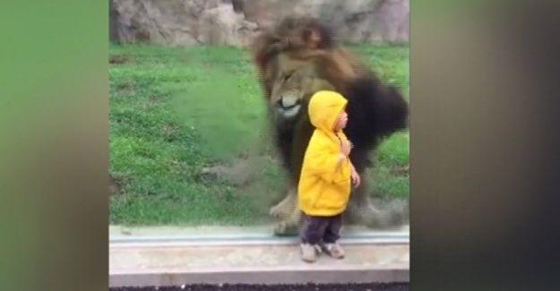 2 yaşındaki çocuğa saldırmak isteyen aslan cama takıldı