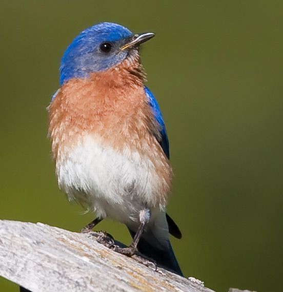 blue birds | Bluebirds Return to Yonkers | National Audubon Society Chapter ...
