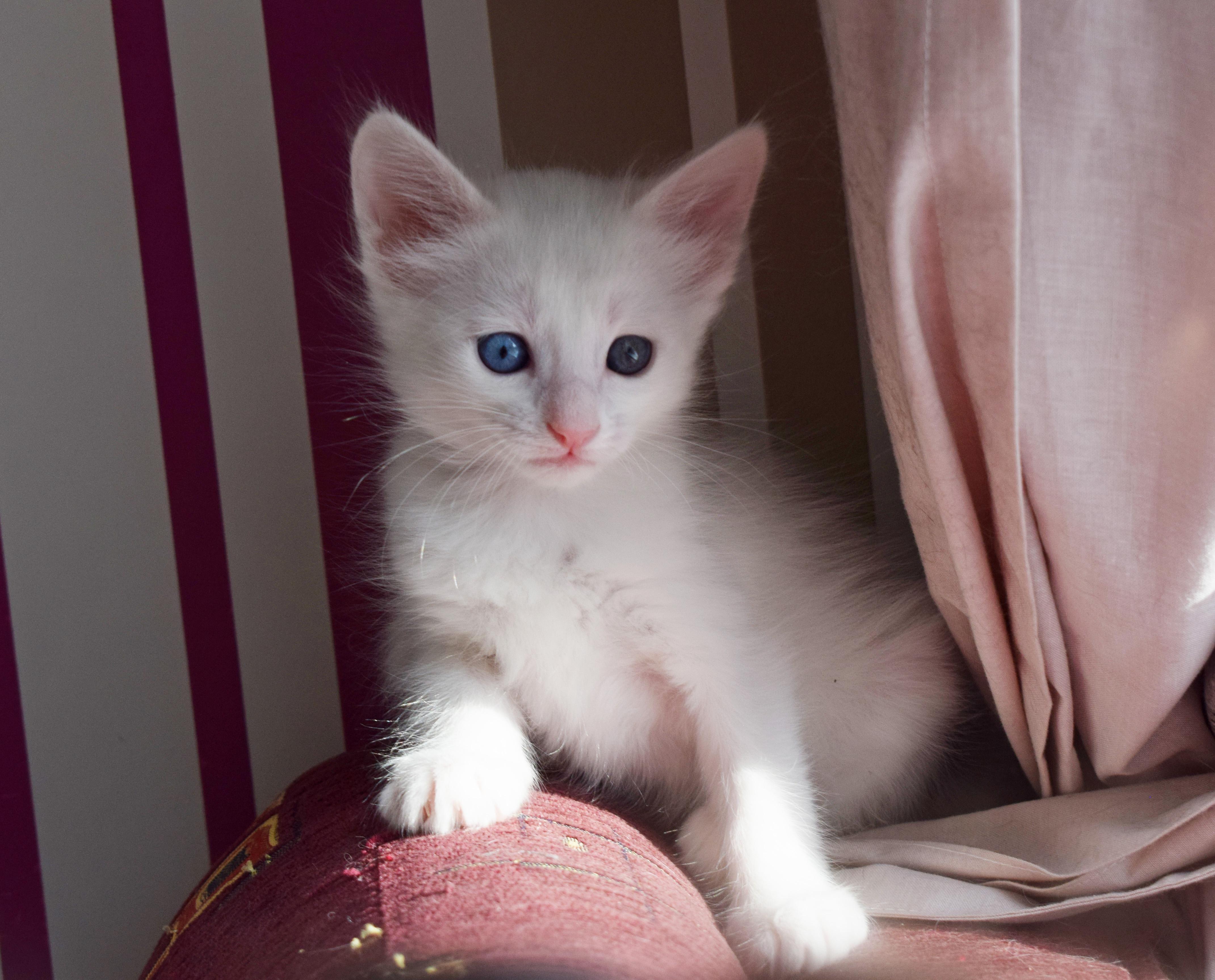 Fluffy Turkish Angora kitten with heterochromiahttps//i