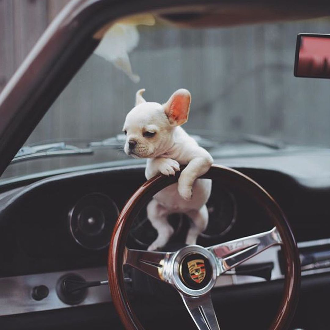 Puppies of instagram on instagram ucyour uber driver has arrived