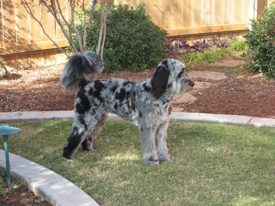 About Our Aussiedoodles Breeding Program Aussiedoodle Puppies
