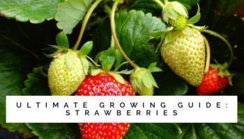 How To Grow Strawberries In Containers  Gardening Channel #growingstrawberriesincontainers How To Grow Strawberries In Containers  Gardening Channel #growingstrawberriesincontainers How To Grow Strawberries In Containers  Gardening Channel #growingstrawberriesincontainers How To Grow Strawberries In Containers  Gardening Channel #growingstrawberriesincontainers How To Grow Strawberries In Containers  Gardening Channel #growingstrawberriesincontainers How To Grow Strawberries In Containers  Garde #growingstrawberriesincontainers