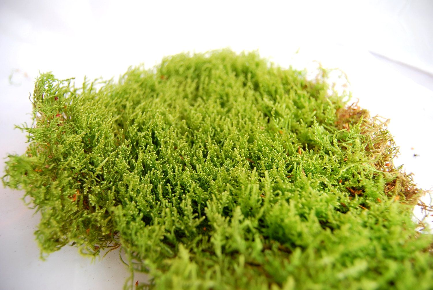 Live carpet moss for terrariumvivariumfrogs orchidsreptiles or