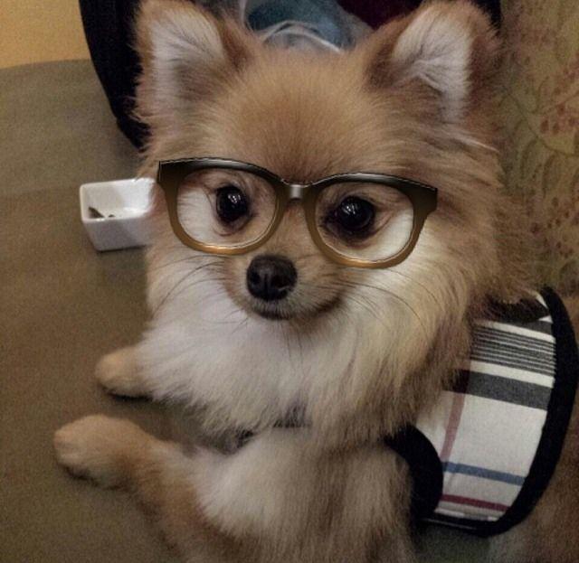 pomeranian glasses hunde pinterest kleinster hund. Black Bedroom Furniture Sets. Home Design Ideas