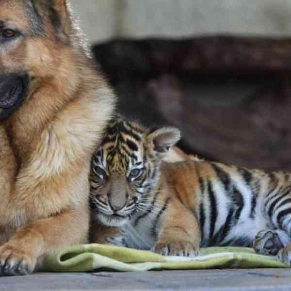 Le côté doux des chats sauvages – 65 photos du monde des grands chats