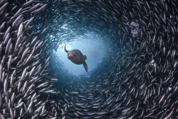 shows a hungry sea lion as it swims through a tunnel of fish looking for food. A perfectly timed photograph that was shot somewhere inGalapagos Islands.