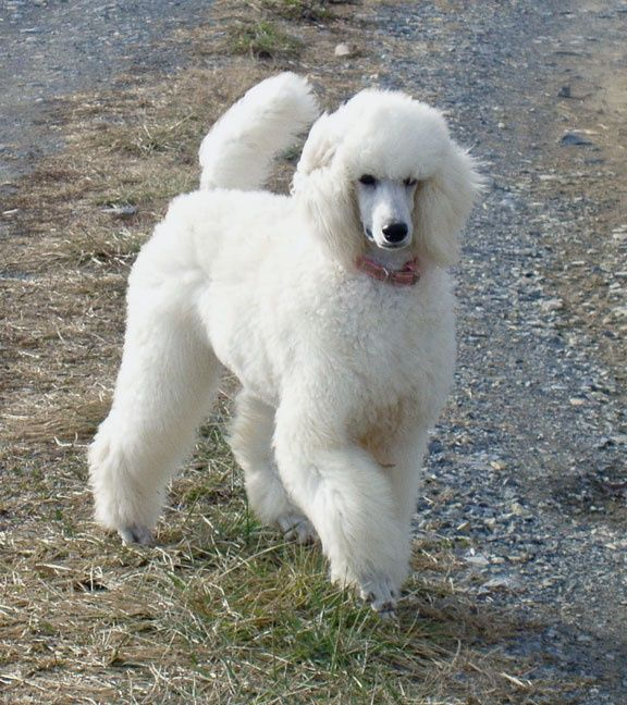 A Beautiful White Standard Poodle I Love White But Lily Never