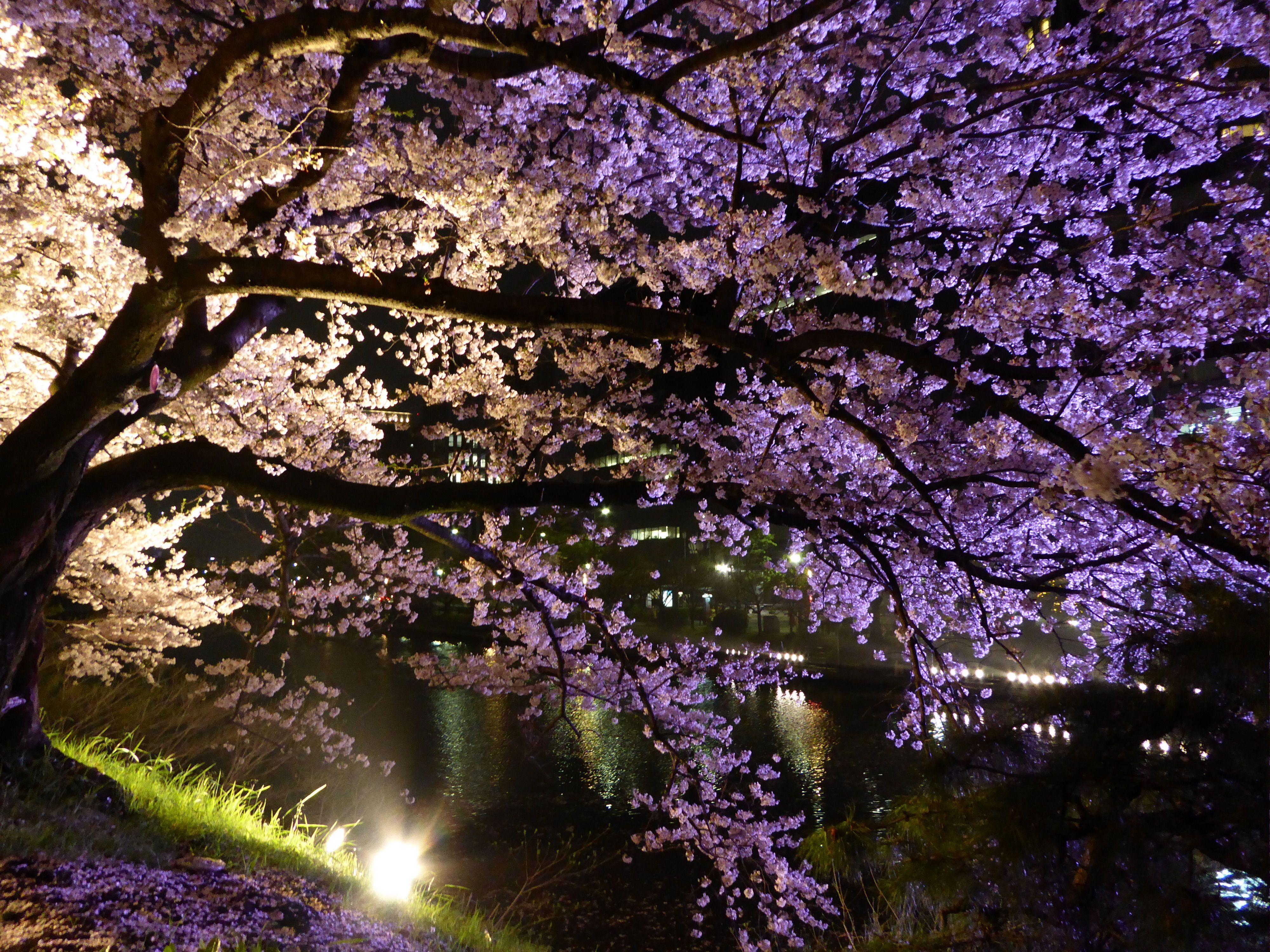 Cherry Blossom Tree At Night Fukuoka Oc 4000x3000 R Japanpics Cherry Blossom Tree Blossom Trees Tree