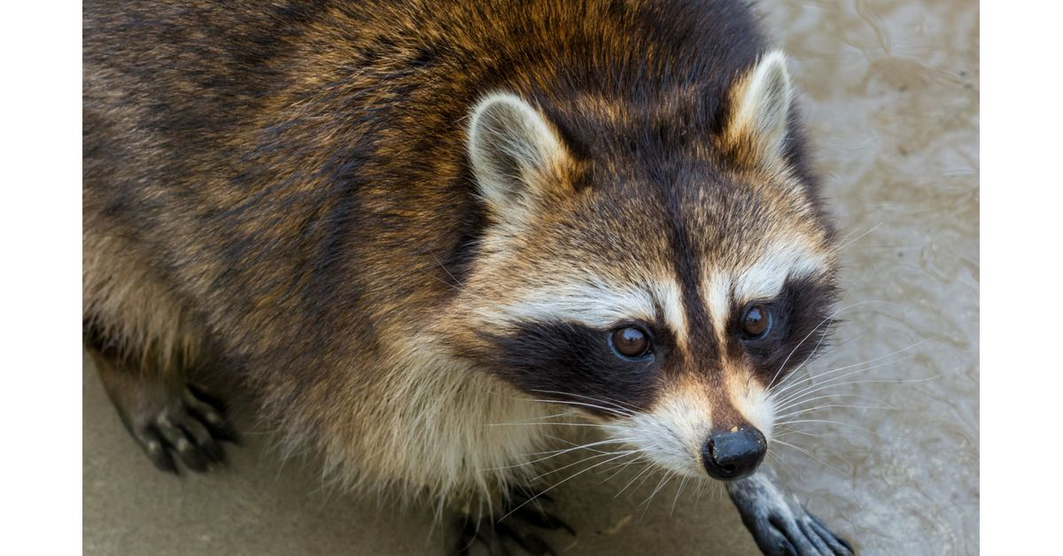 It S 1 00 In The Morning I M A Raccoon And I Ve Decided To Move Into Your Attic I Ll Make So Much Noise Because I M World Animal Protection Raccoon Wildlife