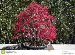 Resultado de imagem para bonsai japoneses