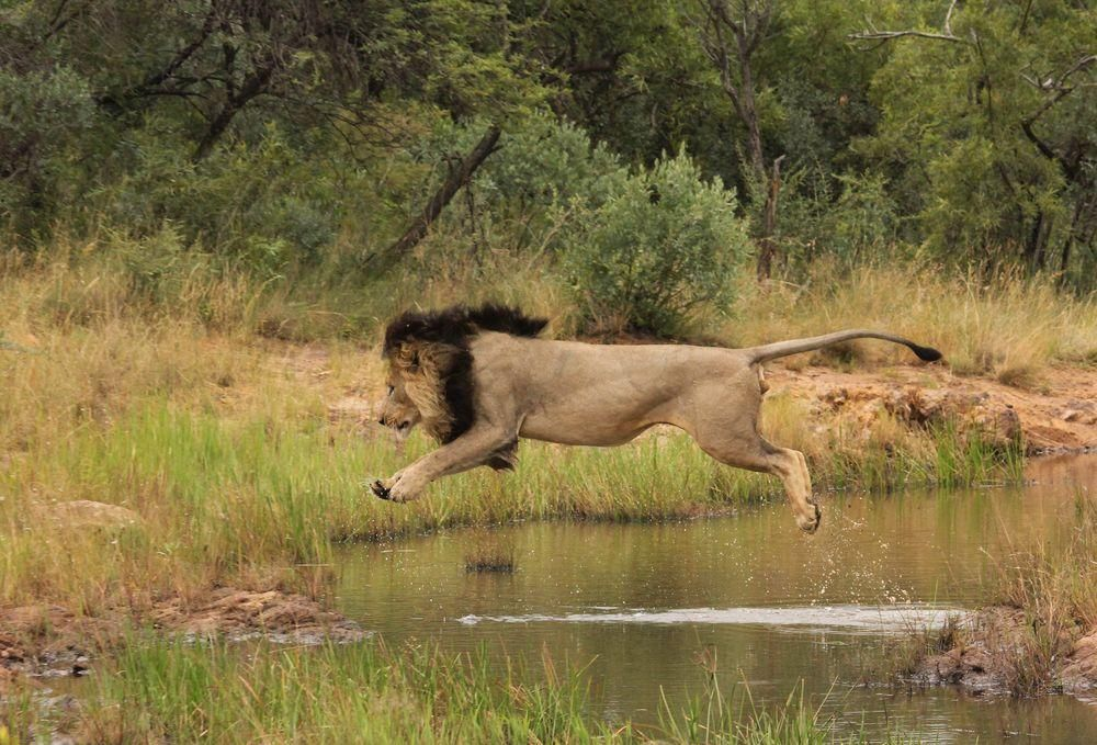 Everyone knows that cats don't like water and this male lion was no exception!