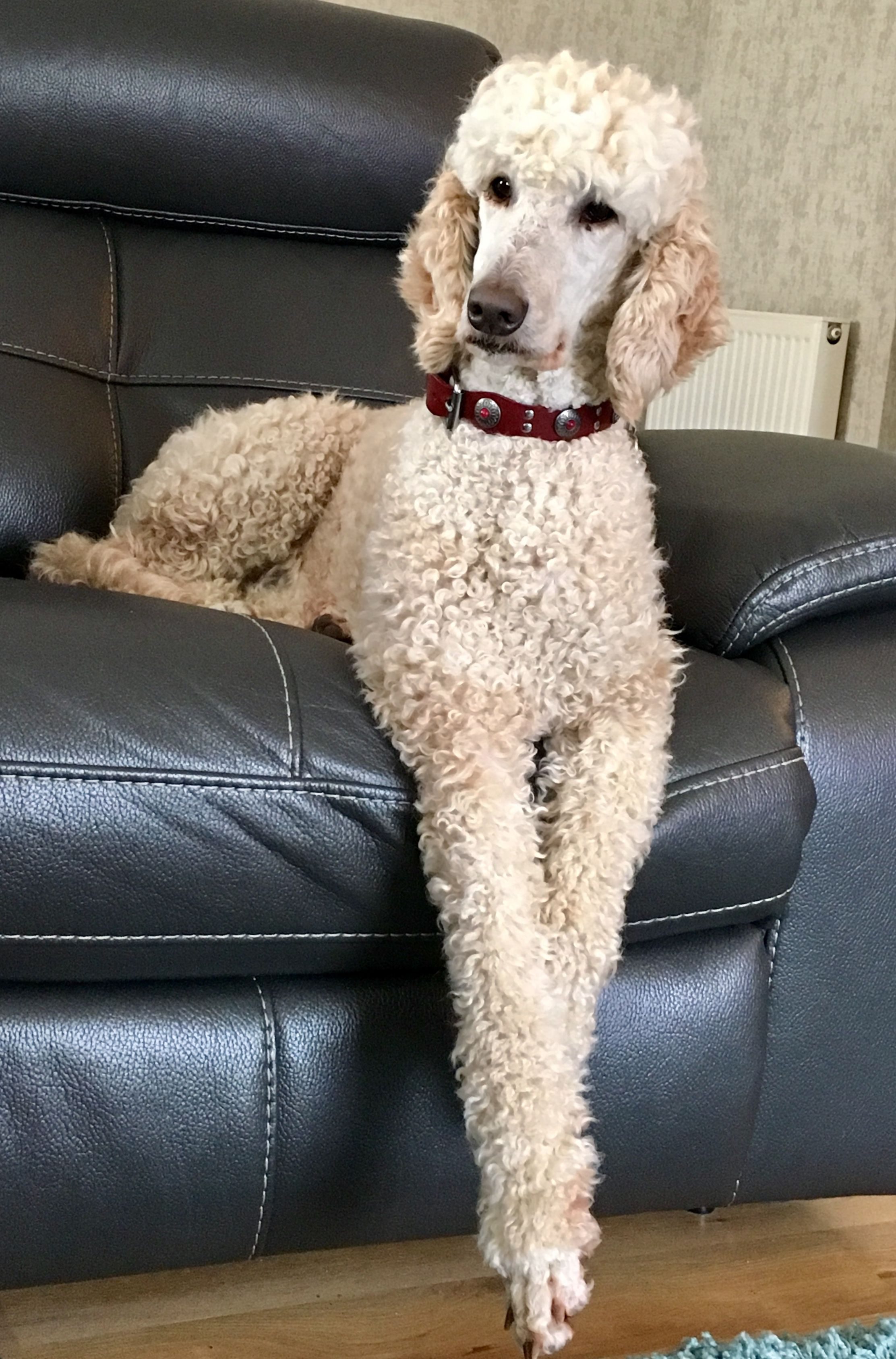 Connie On The Couch 3 Standard Poodle Poodle Dog Cat