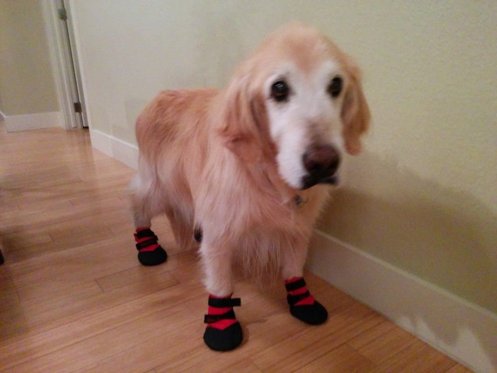 Look At This Beautiful Face Golden Retriever Benson Is Wearing - Dog shoes for hardwood floors