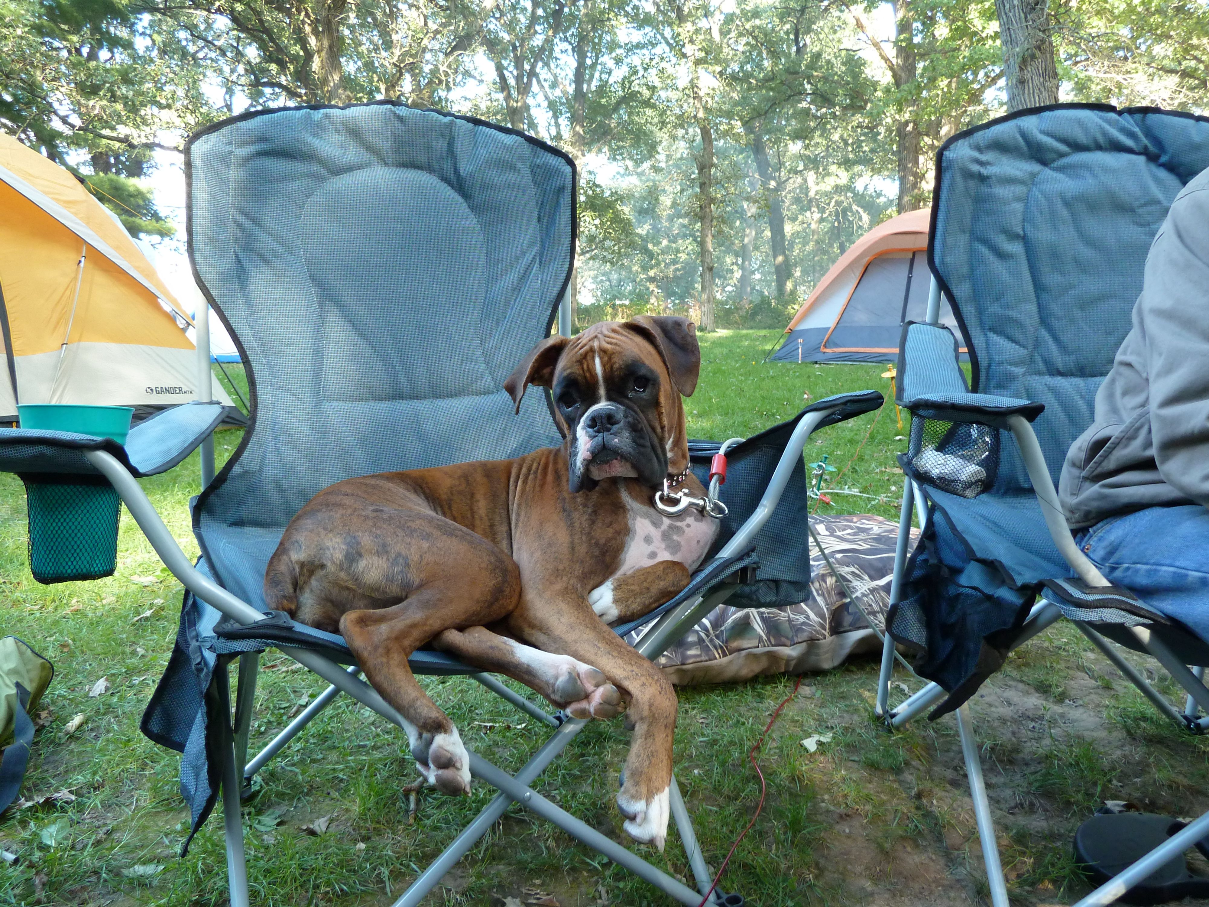 My Boxer thinks she's a person...