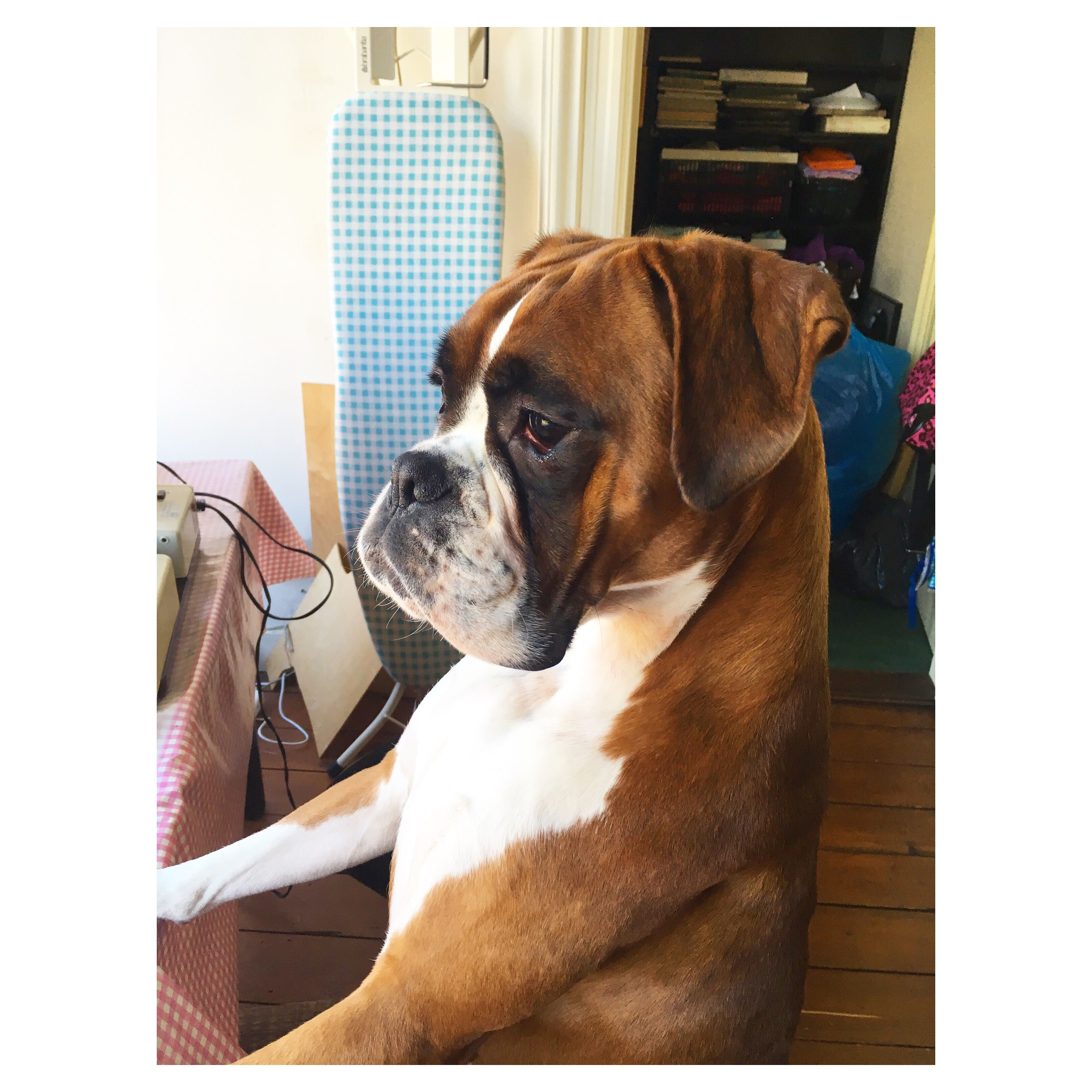 Pin By Julie Carlile On Boxers Boxer Dogs Boxer Puppies Best Dog Food