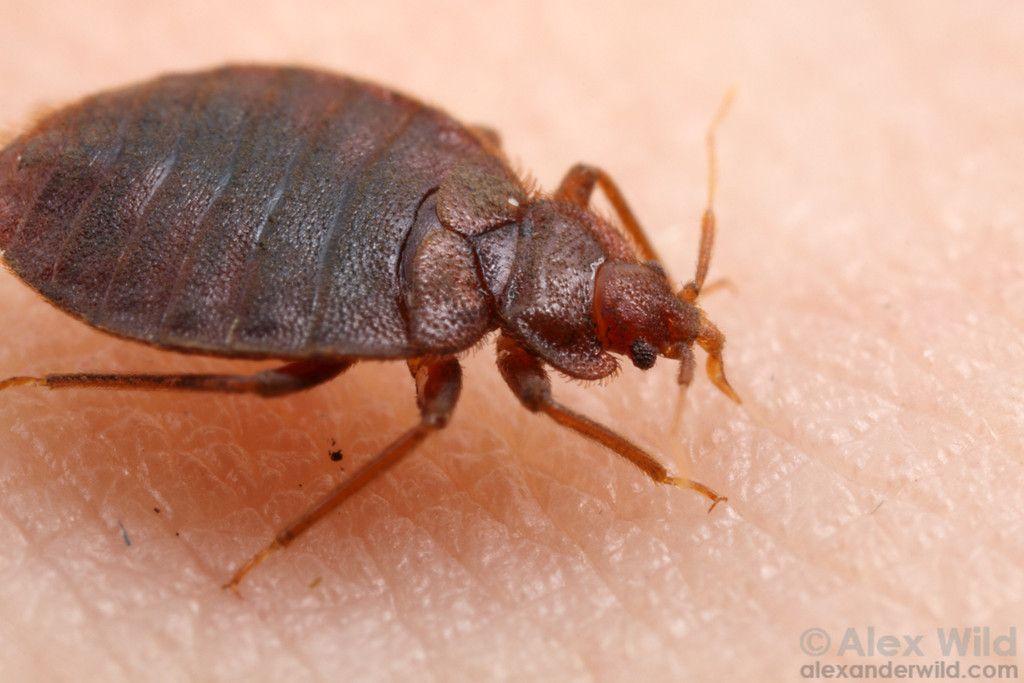 Cimex Lectularius The Common Bed Bug Chicago Illinois Usa